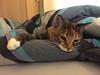 Comfy between covers (marieckejanssen) Tags: cover bed lit dekbed couverture kat chat katze mammal huisdier haustier bedroom slaapkamer blindphotographer