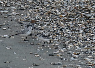 Sanderlings & shells