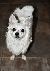 fullsizeoutput_2a (Sarah Lawver (follow me on Instagram!)) Tags: dirty chihuahua dogs dog cute little tiny nikon nikond7500