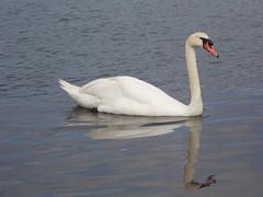 Swan- Canoe Lake, Portsmouth (Lauren Townsend's Photography) Tags: swan queensbird animal bird lake portsmouth canoelake