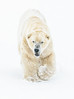 Has anyone seen my mints...? (Phyllis072) Tags: snow ywp ywp2108 polarbear