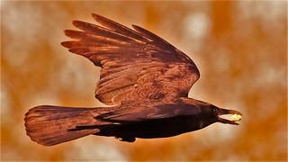 Crow Sliding Sunday