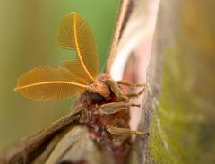 Atlas moth / Atlasspinner (Attacus atlas) (ralph_behrens) Tags: 2018 atlasmoth atlasspinner attacusatlas mzuiko60mmf28macro niedersachsen omd omdem1markii oly olympus ralphbehrens schmetterlingsfarm stacked steinhude winter