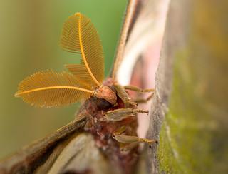Atlas moth / Atlasspinner (Attacus atlas)