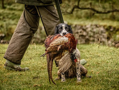 The Catch (Swirly_Magnolia) Tags: gun dog pheasant shoot bird hound game cock hen spaniel mutt shot shotgun master man animal portrait pet working farm outdoor countryside sport shooting catch caught dead swirly magnolia nikon camera interesting green photo eyes eye contact beautiful bright colour