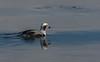 Harelde Kakawi/Long-tailed duck -10244 (michel paquin2011) Tags: hareldekakawi canard plongeur côte sainte catherine