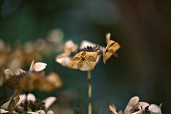 Veins (Magreen2) Tags: helios4028515 hortensia flower bokeh oldlens vintagelens manuallens light colours brown green nature winter hortensie pflanze verblüht blume blüte adern