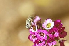 Fly & Flowers (Potent2020) Tags: wild garden nature closeup insect purple bokeh macro fly flower aroma honey sweetalyssum sweetalison aliso alyssummaritimum