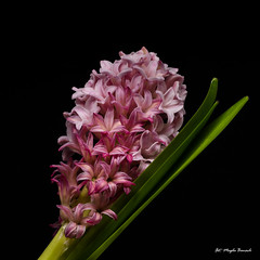 Pink hyacinth (Magda Banach) Tags: canon canon80d sigma150mmf28apomacrodghsm blackbackground colors flora flower green hyacinth macro nature pink plant plants
