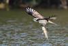An osprey's struggle with a big fish (2) (takashimuramatsu) Tags: pandionhaliaetus osprey catching fish flying nagoya japan ミサゴ 飛翔 nikon d500