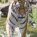 Tigress walking in the water