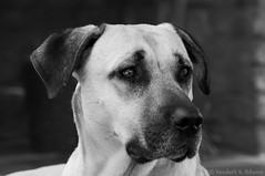 Olhos que sentem (Vanderli S. Ribeiro) Tags: cão dog olhos petroebranco cachorro eyes blackandwhite pb vanderlisr vanderlisribeiro nikon