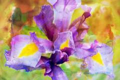 Fine Art (Audrey A Jackson) Tags: canon60d smartphotoeditor creative closeup nature petals garden 1001nights