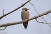Woodpecker (msalatrab) Tags: woodpecker bird mustafa alatrab elattrib طائر طير عصفور عصافير حياة برية براري حيوان حيوانات طبيعة جمال مصطفىالأترب