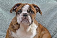 Cuteness (rdlpix) Tags: dog puppy pug chihuahua bulldog cute animal pet puppies portrait nikond7000 nikon