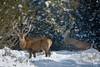 Bouquet de bois dans la neige ! (Patrice Baud) Tags: cerf reddeer cervus cerdagne nikon d7100 300mm montagne sauvage hirsch deer bois