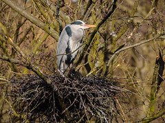 Grey Heron.  Rebuilding last years nest. (mick revell) Tags: grey heron