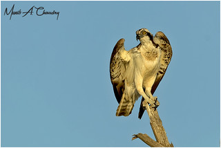The Sunrise Osprey!