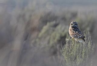 Short-eared Owl in Sage - 4910b+