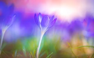 Spring Crocus, Snowdrops series - 9