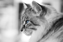 hapandstance-1-4 (Sally Harmon Photography) Tags: blue eyes kitty black white color selective
