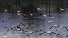Let's fly away (iosif.michael) Tags: nikon tamron 150600 flamingos birds biodiversity water saltlake nature naturallight cyprus