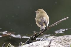 Chiffchaf - Andalusia - Spain (wietsej) Tags: tjiftjaf sierra de andujar andalusia spain rx10 rx10m4 bird chiffchaf