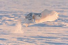 ''Lumineuse plumes!'' Harfang des neiges-Snowy owl (pascaleforest) Tags: hibou owl neige snow winter hiver passion nikon nature wild wildlife faune québec canada champs lumière light oiseau bird animal plume