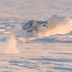 ''Lumineuse plumes!'' Harfang des neiges-Snowy owl thumbnail