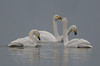 Two Swans-a-kissing (Tim Melling) Tags: cygnus whooper swan swans kissing welney timmelling