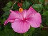 Pink Hibiscus (tresed47) Tags: 2018 201801jan 20180116longwoodflowers canon7d chestercounty content flowers folder hibiscus january longwoodgardens macro pennsylvania peterscamera petersphotos places ringflash season takenby technical us winter