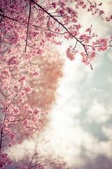 櫻花 (Wi 視覺) Tags: 櫻花 flower さくら leaf cherry