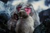 Keep Warm (moaan) Tags: yamanouchi nagano japan jp monkey snowmonkey japanesemacaque groupofmonkeys cold chill snow snowfall jigokudani jigokudanivalley jigokudanisnowmonkeypark jigokudanispa dof depthoffield bokeh bokehphotography canoneos5dmarkiii zeissmakroplanart2100ze utata 2018 makroplnart2100