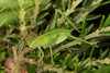 Katydid nymph (zosterops) Tags: australia tasmania ulverstone canoneos6d canonmacrolensmpe65 macro insecta orthoptera tettigoniidae caedicia