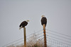 I Can Only Imagine (Exlpored) (RootsRunDeep) Tags: bald eagle feathers ature birdofprey winter wyoming fence friday barbed wire