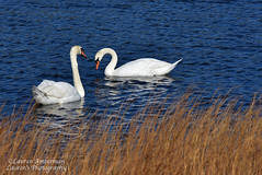 Pretty pair (lauren3838 photography) Tags: lauren3838photography laurensphotography swans nj jerseyshore newjersey nature ilovenature nikon d750 water audubon waterfowl birds wildlife