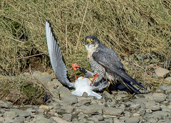 JWL3943 Peregrine Falcon... (jefflack Wildlife&Nature) Tags: peregrine peregrinefalcon falcon falcons birds avian animal animals wildlife wildbirds wetlands birdsofprey raptors hedgerows hawk hawks countryside coastalbirds crags cliffs rocks ogmore nature hunters