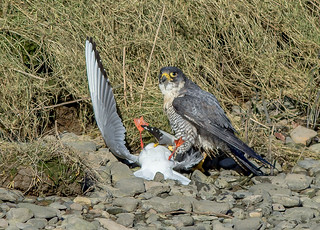 JWL3943 Peregrine Falcon...
