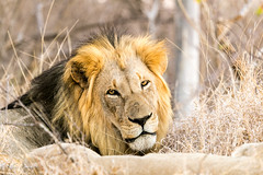 Lion Male (mayekarulhas) Tags: maruleng limpopo southafrica za wildlife wild animal africa safari lion canon