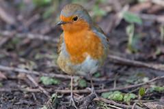 Sevenoaks Robin