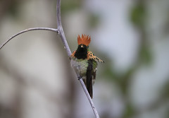 Tufted coquette (richard.mcmanus.) Tags: tuftedcoquette trinidad rainforest hummingbird bird animal mcmanus tropics