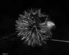 Dandelion & Bulb (that_damn_duck) Tags: dandelion nature blackwhite monochrome flowerbulb flower bw blackandwhite
