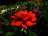 Zinnia (Andreas JS) Tags: nature natural photo picture capture sunlight light mood emotion feeling color colorful south africa naturaleza foto imagen captura luzdelsol luz estadodeánimo emoción sentimiento colorido sud áfrica life hope bright colors vivid red yellow zinnia flora dof