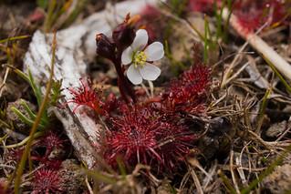 Mini D. spatulata from Tongariro NP, NZ