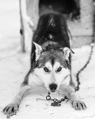 Arctic sled dog (Kristaaaaa) Tags: animals arctic dog dogs fur huskey portrait sleddog snow tuktoyaktuk winter canada black white northwestterritories north closeup close 56mm fuji fujifilm fujixt2 fujilove fujinon xf blackwhite blacknwhite bnw bw blackandwhite
