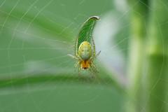 Kürbisspinne (Araniella cucurbitina) | Cucumber green spider (woo_73) Tags: makro spinne tier maco spider animal natur nature green grün