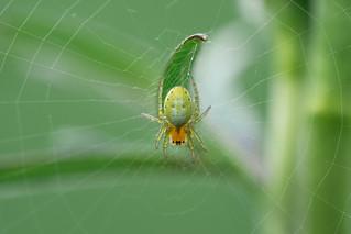 Kürbisspinne (Araniella cucurbitina) | Cucumber green spider