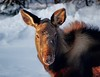 Where's my mommy . . . (JLS Photography - Alaska) Tags: alaska alaskalandscape animal animals eland elch elk moose calf nature wildlife winter jlsphotographyalaska