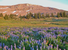 Teton Crest Trail, Grand Teton National Park (wldrns) Tags: grandtetonnationalpark tetoncresttrail jedediahsmithwilderness jedediahsmithwildernessarea alaskabasin alaskabasinshelf alpinemeadows alpinewildflowers backpacking hiking wyoming