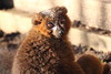Red Bellied Lemur (charliejb) Tags: redbelliedlemur lemur wildlife primate fur furry furred 2018 wildplace bristol cribbscauseway patchway mammal red redbellied